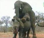 vidéo accouplement rhinocéros éléphant
