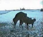 vid�o accouplement taureau vache glisse neige tombe chute