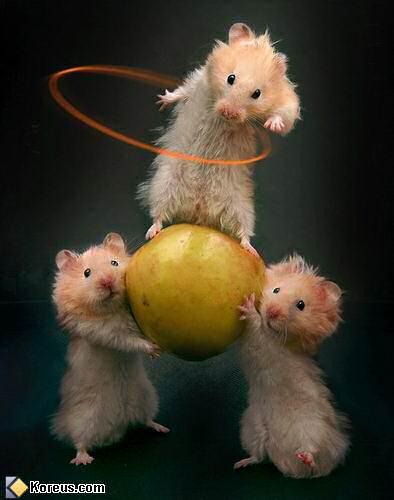 hamsters_acrobates