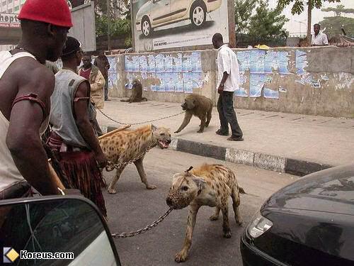 image pitbull africain hyene singe en laisse