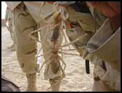 image araign�e du d�sert camel spider humour insolite